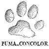 puma_concolor: puma_concolor mountain lion paw print (pawprint)