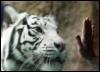 cotya: (Белый тигр)