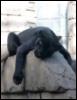 cotya: (Черная пантера)