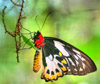 settler: (butterfly)