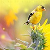 just_ann_now: (Seasonal: Summer: Goldfinch)