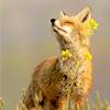 madhumor: (fox)