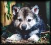 mielga: (волчонок от Дуняши)
