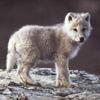 mielga: (арктический волчонок)