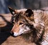 mielga: (волчица)