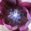 theora: the center of a dark purple tulip (Default)