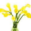 revolutions: Golden yellow calla lilies in a glass vase. (golden lilies)