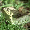 revolutions: A grass snake, lifting its head up above the grass. (grass snake)