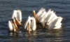 onyxlynx: 6 pelicans at the local watering hole (Six Pelicans)