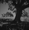 volvita: (tree)