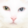 aquaeri: white cat, one yellow and one blue eye (white)