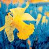 eunice: (daffodil)