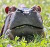 xraytheenforcer: (hippo)