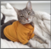apologizingkitty: Photo of a cat wearing a mustard-yellow sweater. (cat, sweater)