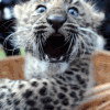 chains_of_irony: (Shocked Snow Leopard)