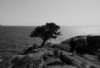 grimview: Black and white photo of a tree, on a bluff, near the ocean. (Default)