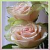 sitella: (розы)