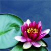 aftondays: (water lily) (Default)