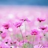 angelica_sea: (pink field)