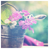 softness: pink flowers in a tin bucket (flowers)