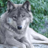 timbre_wolf: (wolf relax)