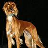 pro_patria_mortuus: A golden saluki (dog) standing dramatically against a black background (hunter of antiquity (Cubefall))
