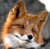 elinai: (smirking fox)