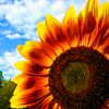 overcitiesflowerswillgrow: Sunflower against blue sky with clouds. The flower is yellow and a bit red. (Default)