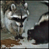 sharpest_asp: Picture of a raccoon and skunk sharing cat kibble (General: Raccoon and Skunk)