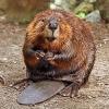 supergee: (beaver)