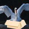 Swan in a Box