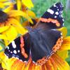 catalex: (бабочка)