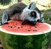 lazy_natalia: (lemur_arbuz)