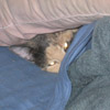 affreca: Cat Under Blankets (Hiding)