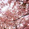 dorchadas: (Cherry Blossoms)