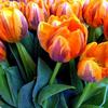 applejack: (tulips)