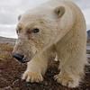 newlander90: (Polar bear)
