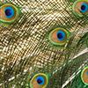 the_duchy: (default: peacock) (Default)