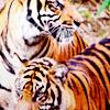 thady: (DIV  -  tigers)