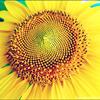 gundamkiwi: (sunflower)