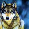 elfennau: (Wolf)