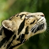 feralkiss: Profile view of a clouded leopard looking up. (cl_upandaway)