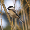 kjwcode: A perching chickadee. (chickadee)