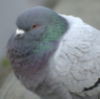 kjwcode: A puffed-up pigeon. (pigeon)