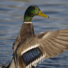 kjwcode: A flapping duck. (duck)