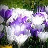 rhi: Blue, white, and purple tulips in bloom (blue and purple flowers)