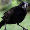 guinevak: a pissed-off grackle. or just a regular grackle, it's hard to tell. (OH YEAH?)