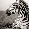 darkexperience: Black/White-Picture of a Zebra (animal, zebra)
