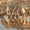 zeborah: Four zebras and their reflections in the water they're drinking from (reflective)