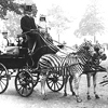 zeborah: Two zebras drawing a Victorian carriage (beast of burden)